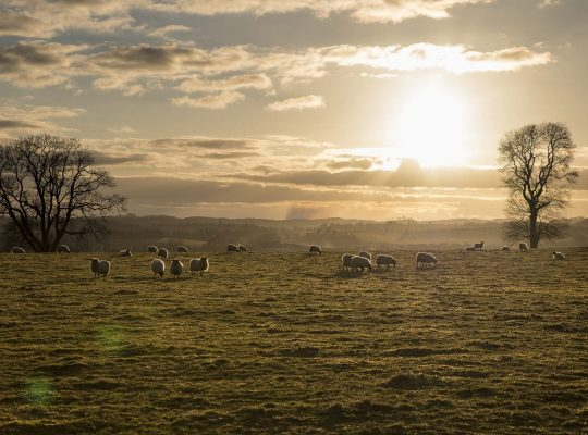 Feliz como una oveja escocesa