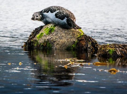 Las focas de la bahía de Lamlash