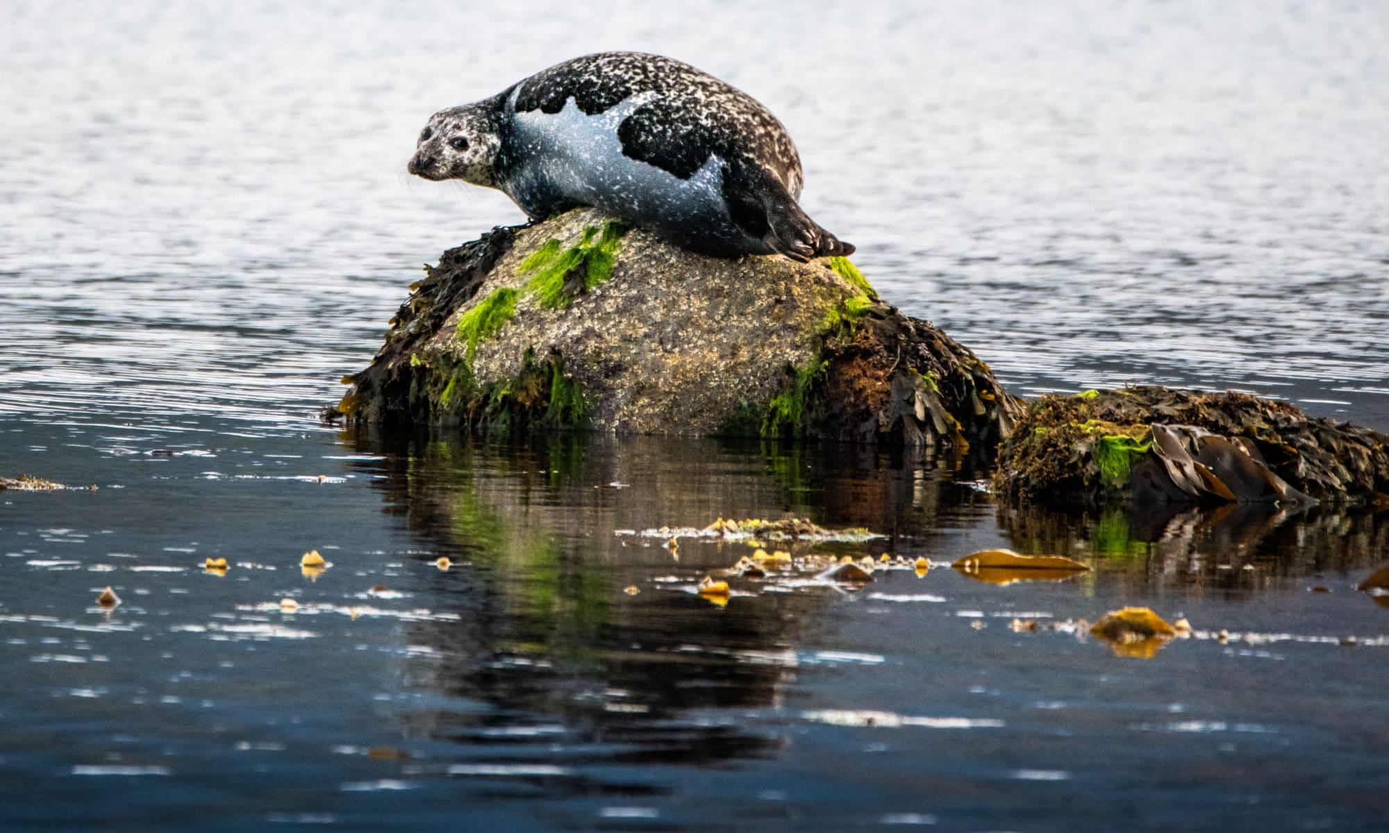 las focas de la bahia de lamlash